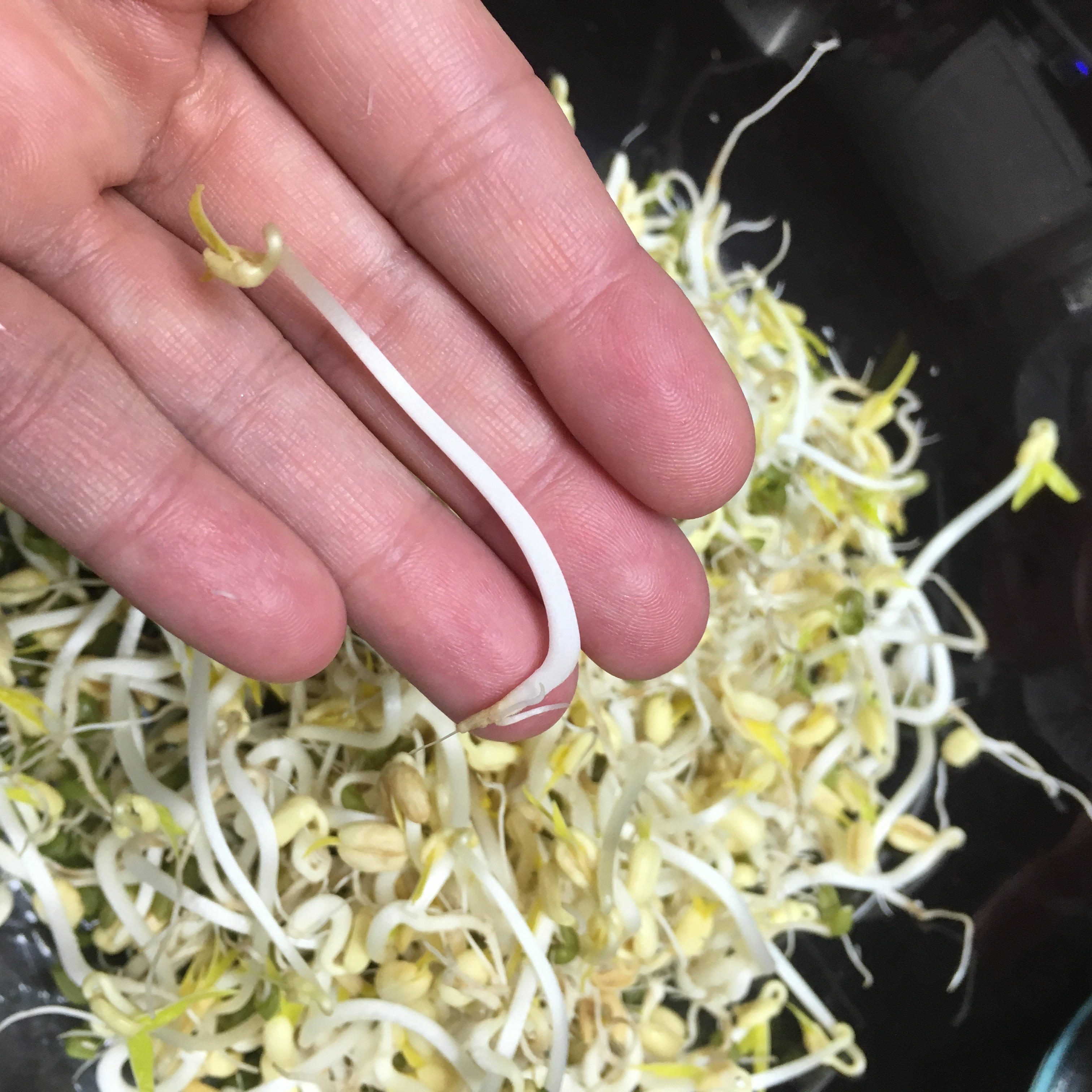 Growing big fat mung bean sprouts charlie eats solutioingenieria Image collections